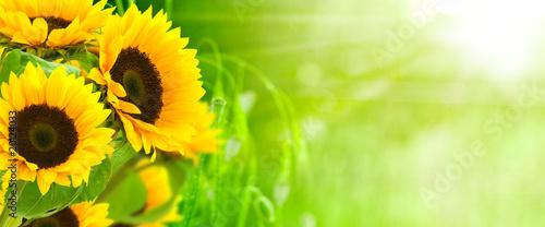 Fotobehang Zonnebloem nature et énergie - fleurs de tournesols sur fond vert