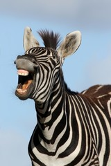 Fototapeta Laughing Zebra