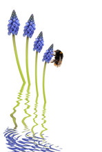 Bee And Grape Hyacinth Flowers