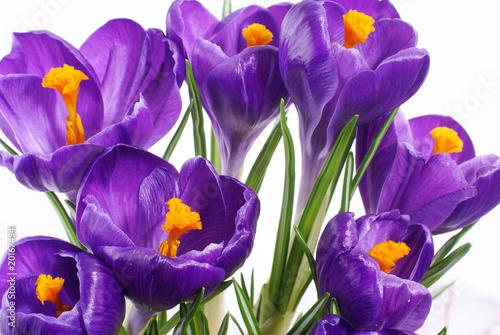 Foto op Plexiglas Krokussen flowers #5