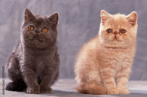 Fotografie, Obraz  chatons exotic shorthair assis en studio l'un à côté de l'autre
