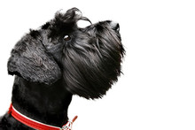 Black Miniature Schnauzer Isolated