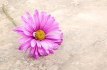 Pink Daisy On Vintage Background