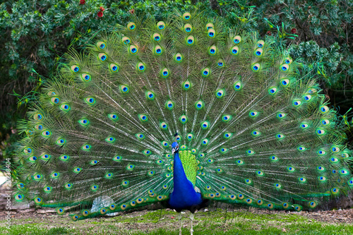 Photo sur Aluminium Paon Peacock with fanned tail