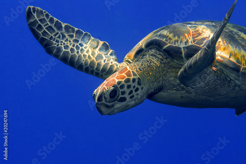 Poster Tortue Green turtle