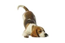 Posture Amusante D'un Beagle A...