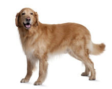 Hovawart Dog, Standing In Front Of White Background