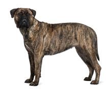 Bullmastiff Dog, Standing In F...