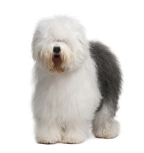 Old English Sheepdog, Standing In Front Of White Background