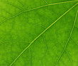 veins of green leaf