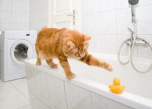 Kurilian Bobtail On Bath