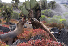 Sea Lions Fighting In The Gala...