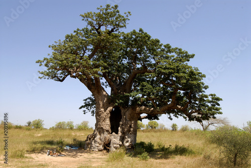 Tuinposter Baobab the hollow baobab (Adansonia digitata) in senegal