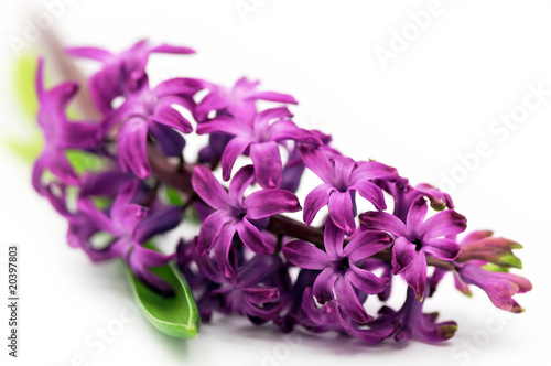 Foto op Canvas Lilac Hyacinth flower (shallow DOF)