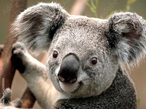 Printed kitchen splashbacks Koala koala