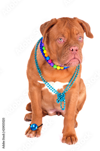 Glamour Dog Poster
