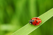 canvas print picture ladybug on grass
