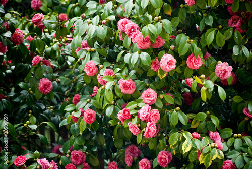 Fotografie, Tablou tree full of camellias