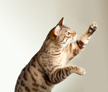Bengal Kitten Stretching Its Claws