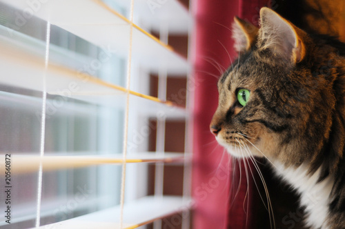 Fotografie, Tablou  Cat Looking out window at day