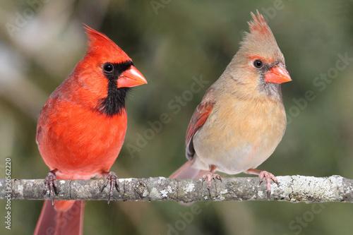 Fotografija Pair of Northern Cardinals