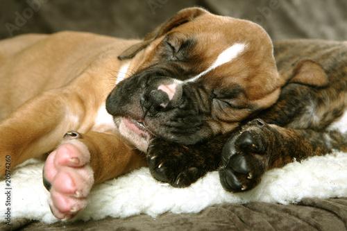Papel de parede  perro boxer