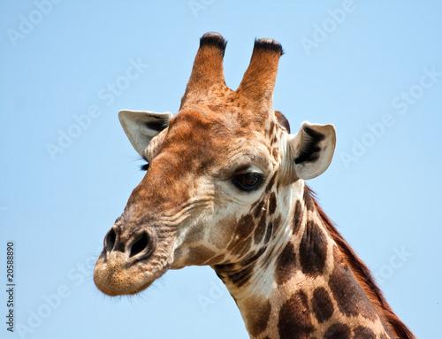 In de dag Giraffe Giraffe portrait