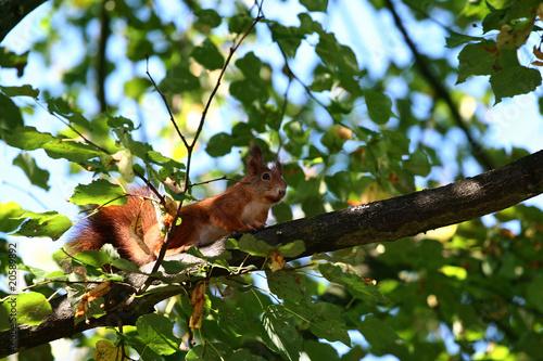 Fotobehang Eekhoorn Eurasian red squirrel