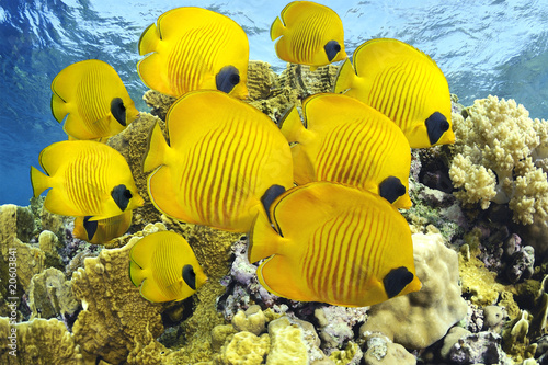 School of colorful tropical butterfly fishes