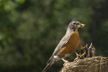 Mother Robin Feeding Babies Wo...
