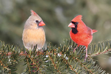 Pair Of Northern Cardinals