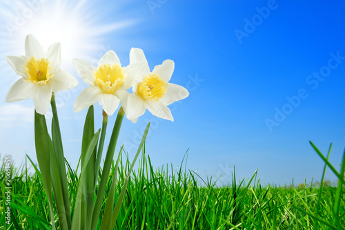Garden Poster Narcissus grass and beautiful narcissus
