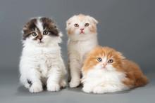 Male Kitten Scottish Fold Breed