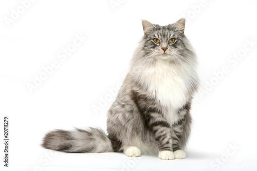 Photo sur Toile Chat attitude digne et franche du chat des forêts norvégiennes