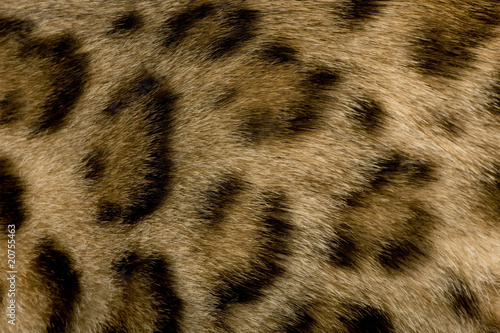 Poster Leopard close up on Fur of a Bengal