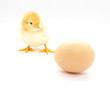 A baby chick
