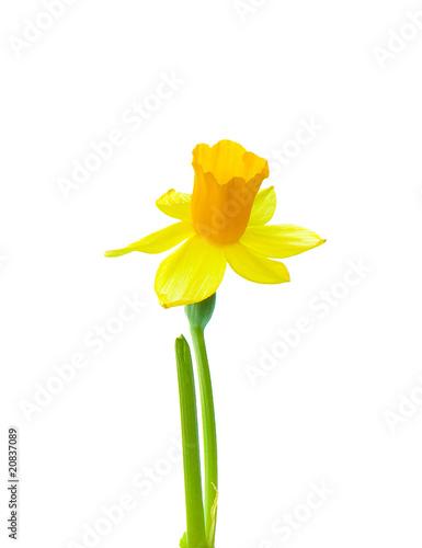 Papiers peints Narcisse Narzissenblüte freigestellt