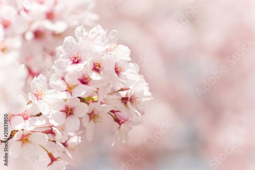 Foto op Canvas Kersen cherry blossom