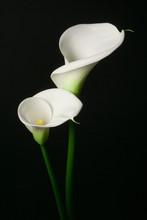 A Couple Of White Calla Lily O...
