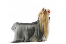 Yorkshire Terrier De Profil En...