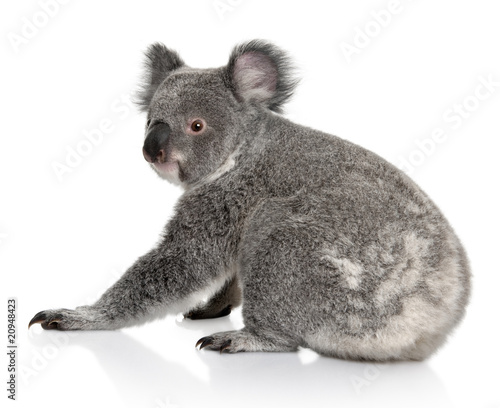 Garden Poster Koala Rear view of Young koala, sitting and looking at the camera