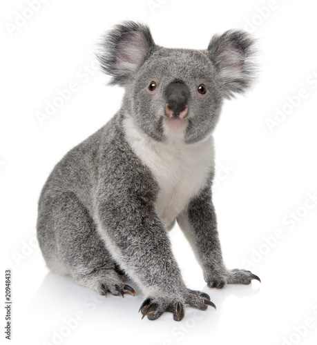 Spoed Foto op Canvas Koala Side view of Young koala, Phascolarctos cinereus, sitting
