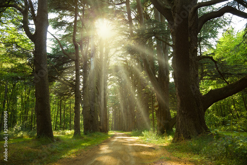 Sunlight trough cedars path at Cheverny Chateau park. France