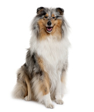Front View Of Rough Collie, Sitting In Front Of White Background