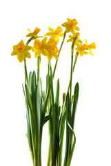 FototapetaYellow daffodils