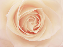 Pink And White Rose Heart Closeup