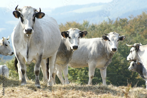 Poster de jardin Vache vaches gasconnes