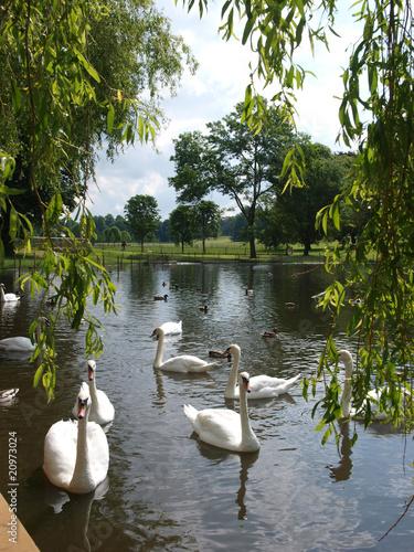 Foto op Canvas Zwaan Swans on lake