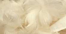 Fond Plumes Blanches