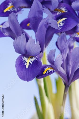 Spoed Foto op Canvas Iris iris flowers.
